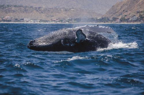 El avistamiento de ballenas postula también a una nominación de los World Travel Awards.