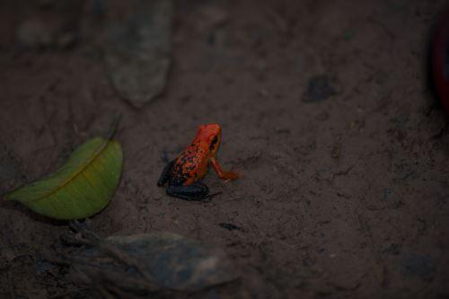 Rana hallada en el Parque Nacional Tingo María. Foto: Promperú/Ernesto Benavides