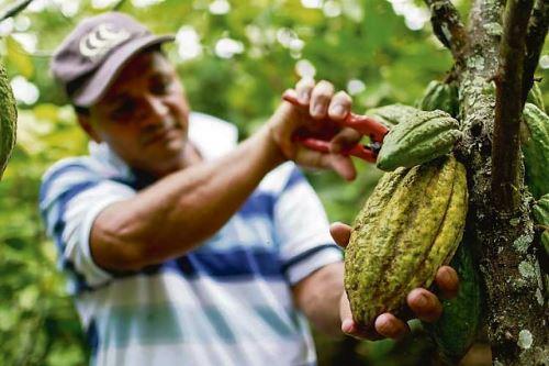 El impulso del cacao generará empleo y la productividad del grano
