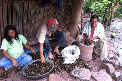 La provincia de Lamas es una de las principales productoras de sacha inchi.