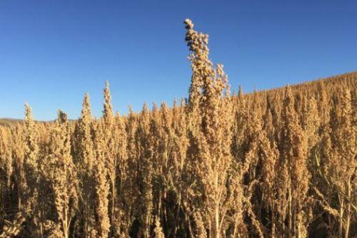 Con la mayor demanda creció el área de cultivo de la quinua en los Andes peruanos. Foto BBC Mundo