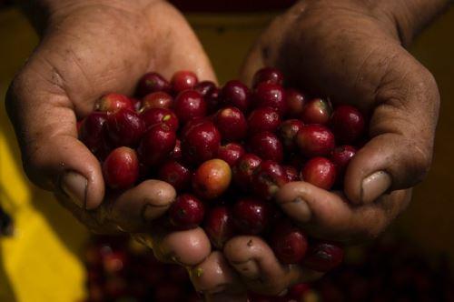 Productores de café de Huánuco producen con calidad certificada.