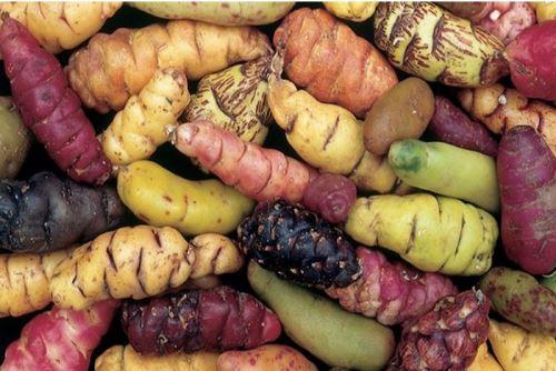 La investigación científica busca revalorar a productos andinos como la oca.