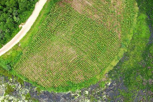 Con inmágenes satelitales se hace un seguimiento de la producción de arroz en San Martín.