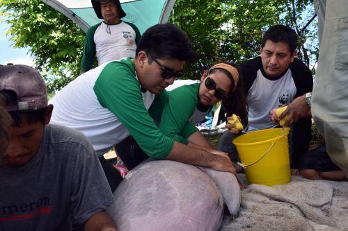 Ocho delfines de río rosados cuentan con transmisores satelitales para monitorear su comportamiento.