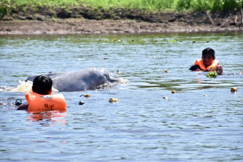El Plan de Acción ayuda a la conservación y protección de los delfines de río y manatís.