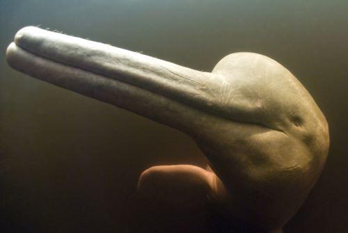 Se implementarán acciones y medidas para la protección de los delfines de río y manatí amazónico.