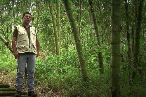 San Martín tiene un enorme potencial para la producción de bambú.