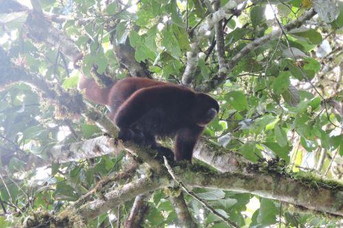 Nueva área de conservación privada Monte Puyo (Bosque de Nubes), en Amazonas, alberga especies endémicas y amenazadas.
