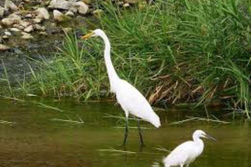 Los humedales de Eten es uno de los lugares visitados por los observadores de aves de la región Lambayeque.