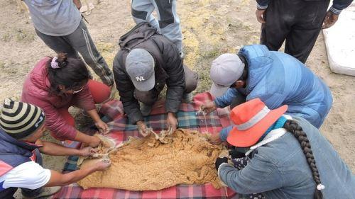 Chaccu permitió recolectar alrededor de mil gramos de fibra esquilada de vicuña.