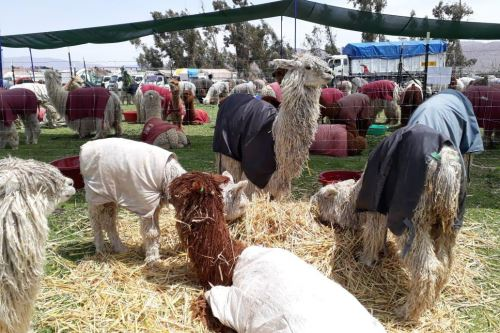 Exportación de fibra de alpaca beneficiaría a miles de productores.