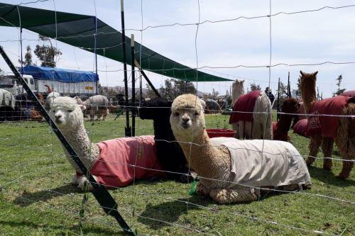 El Perú es el principal productor de alpaca en el mundo.