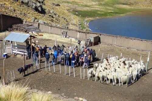 Promotores alpaqueros replicarán sus conocimientos con los pequeños criadores de alpaca.