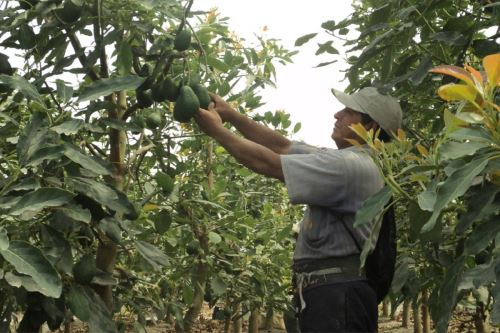 Objetivo es mejorar la producción y calidad de palta y aumentar sus exportaciones.