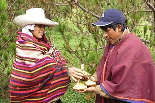 Producción de hongo comestible beneficia a decenas de familias de Incahuasi.