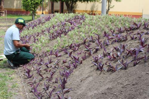 Municipalidad Provincial de Chiclayo brindó personal para las labores de embellecimiento de las áreas verdes del Museo de Sitio Huaca Rajada-Sipán.