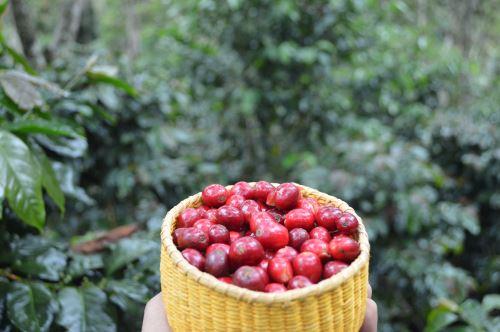 El café de Villa Rica cuenta con certificación de café orgánico y de Comercio Justo.