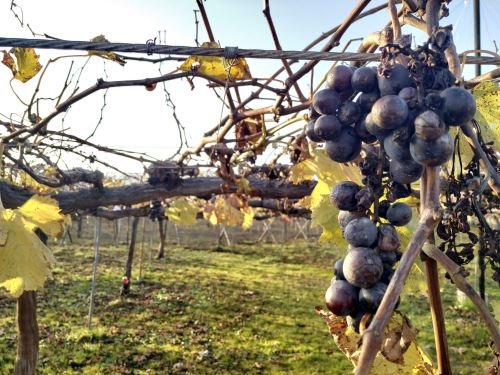 La norma establece procedimientos que definen el quehacer del operario de la uva de mesa.