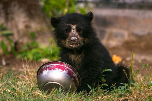 Especialistas del Serfor atendieron y curaron heridas de oso de anteojos de ocho meses rescatado en Huancayo.