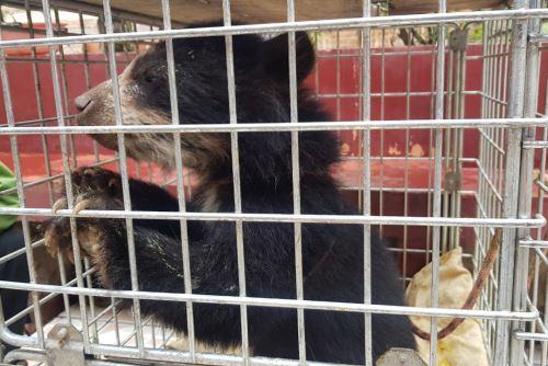 El oso de anteojos u oso andino es una especie amenazada.