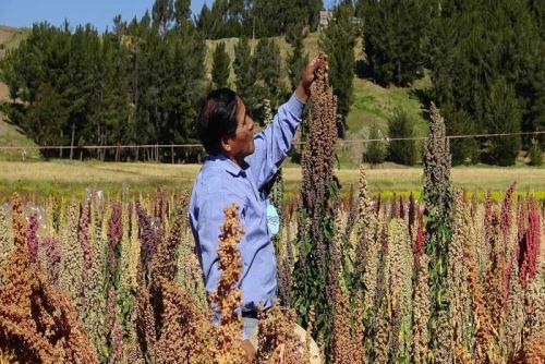 Existen alrededor de 100 variedades de quinua en Perú que crecen en diversas zonas geográficas.