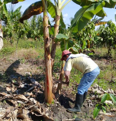 Iniciativa propone el uso del seudotallo del plátano como alternativa ecológica al plástico.