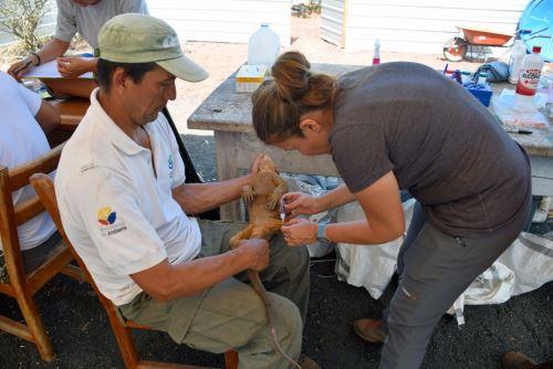 Científicos liberando a las iguanas