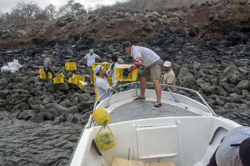 Traslado de las iguanas a la isla Santiago