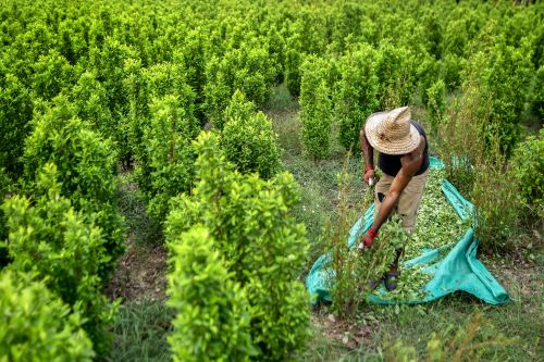 Migrante recolectando hoja de coca