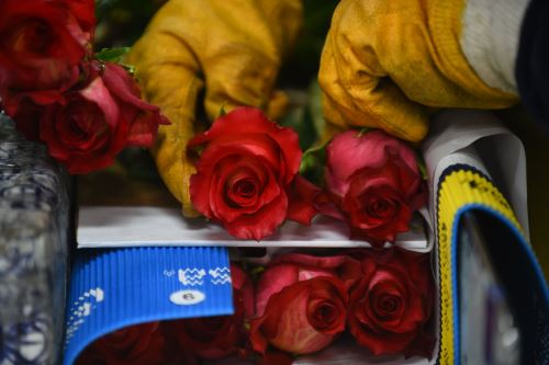 Las rosas son cuidadosamente empacadas