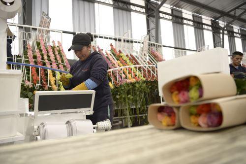 Empaque de rosas para la exportación