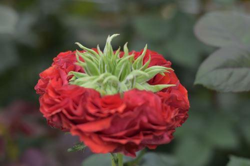 Variedad exótica de rosa para exportación