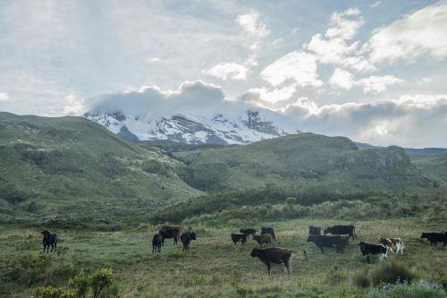 Vacas pastan en el páramo ecuatoriano