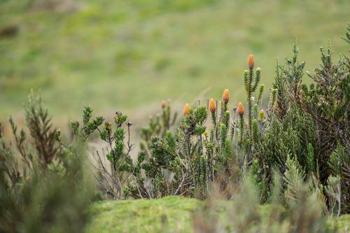 El arbusto Chuquirahua florece en el páramo