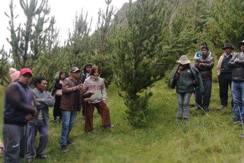 Agro Rural sembró 1,900 hectáreas de pino radiata en la subcuenca del río Shullcas, región Junín.