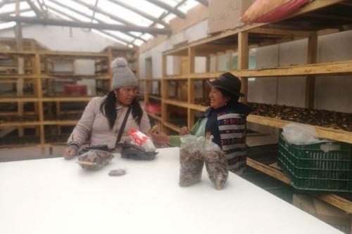 La producción de hongos ha permitido mejorar la economía de los comuneros de Acopalca, región Junín.