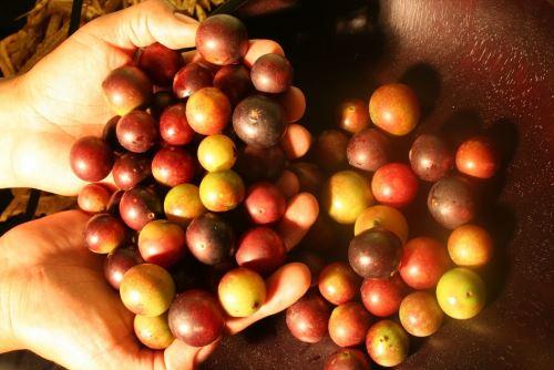 El camu camu es un producto amazónico con gran potencial exportador.