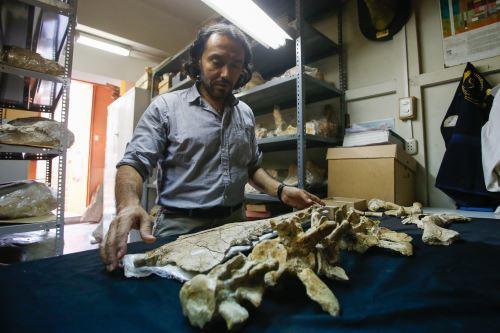 El paleontólogo Rodolfo Salas-Gismondi muestra parte de los fósiles de la ballena de cuatro patas hallada en Ocucaje.