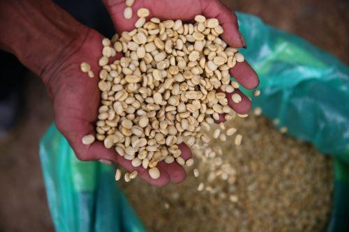 La calidad del café orgánico que se cultiva en Sandia es reconocida en el ámbito internacional.