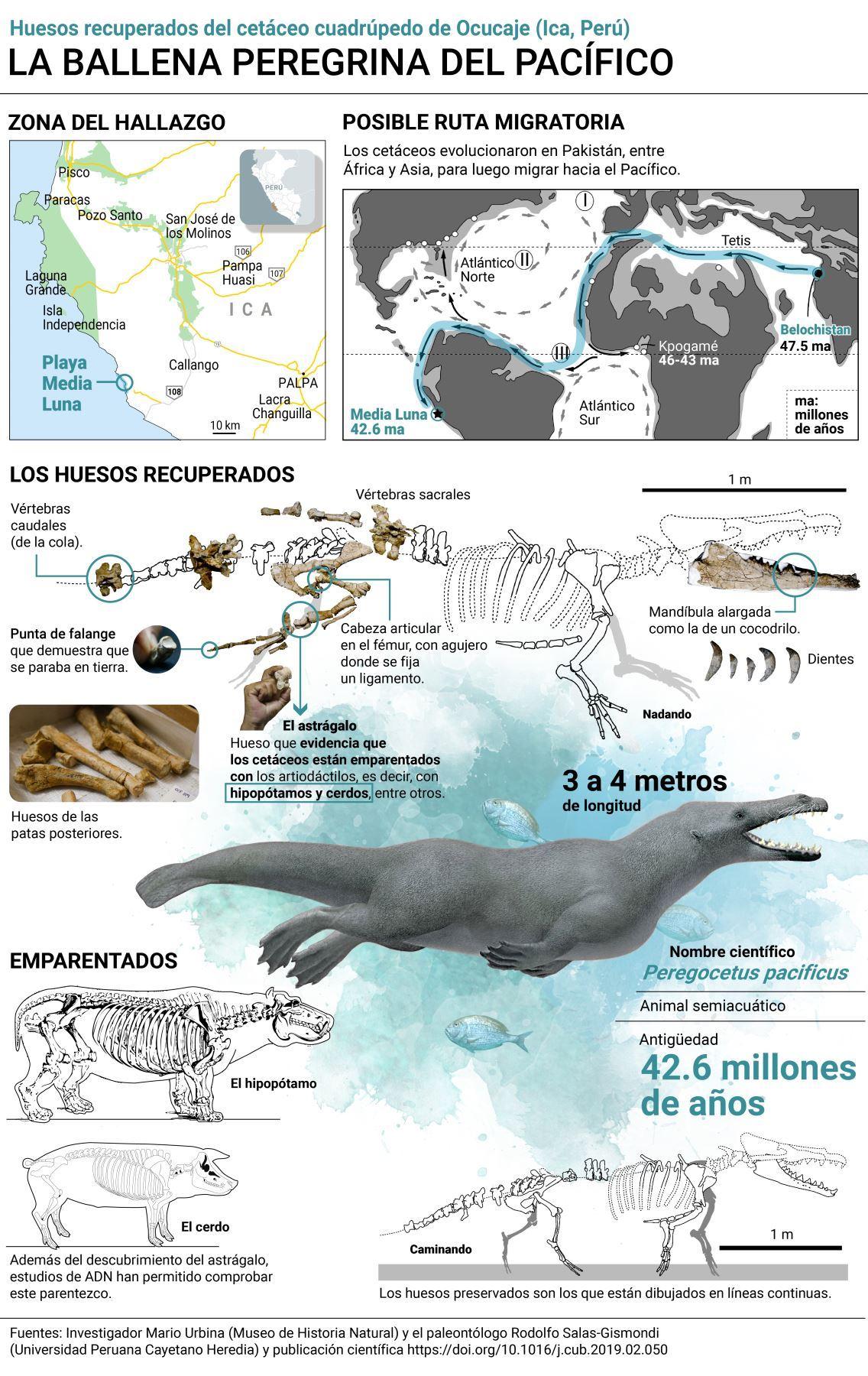 En esta infografía se puede apreciar la posible ruta que siguió la ballena de cuatro patas para llegar al Pacífico, así como los huesos que se recuperaron.