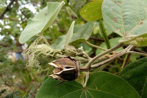 Esta especie de algodón endémico fue hallado en Chongoyape. Foto: Cortesía: Guillermo Delgado.