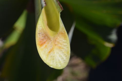Especialistas del Senasa tomarán muestras de plantas con síntomas de marchitez.
