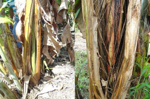 El hongo Fusarium raza 4 afecta el cultivo de banano.