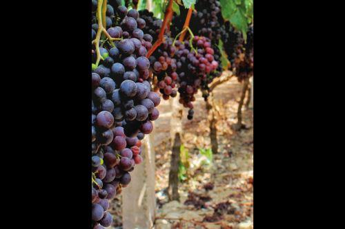 La uva quebranta es reconocida por la Organización Internacional del Vino y la Vid como autóctona del Perú.
