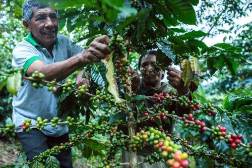 El café es uno de los principales productos de exportación de las regiones amazónicas de Perú.