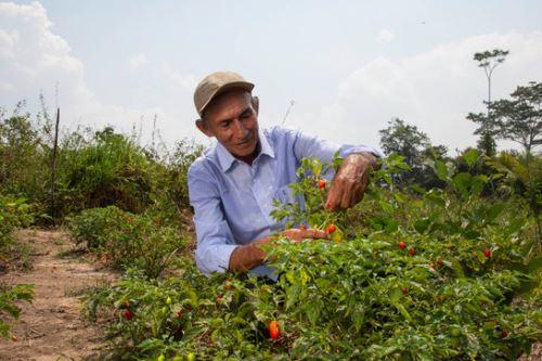 En Perú 8,942 familias se dedican a la producción de ajíes y variedades en 8,528 hectáreas, según el Cenagro 2012.
