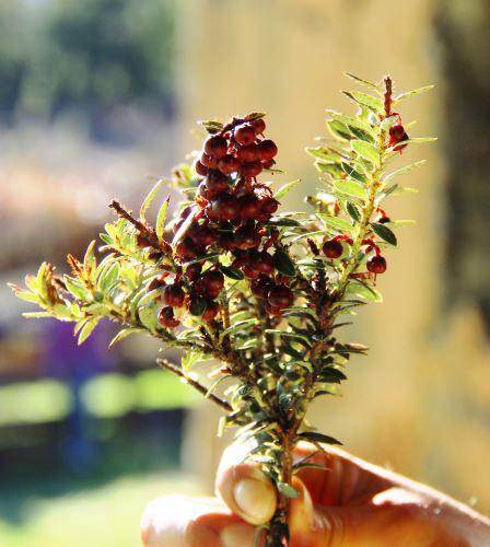 El fruto crece de forma natural en Cajamarca y en algunas zonas de Amazonas y Huánuco.