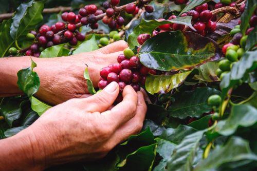 La provincia de Jaén cuenta con grandes plantas procesadoras de café para exportación.