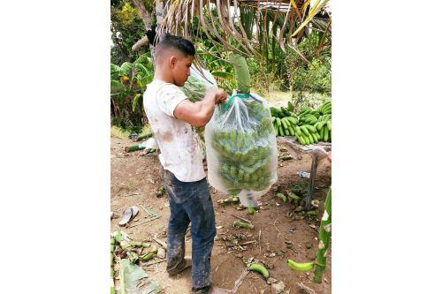Familias del caserío Annape del distrito lambayecano de Mórrope recibieron asistencia técnica para el cultivo de banano orgánico.